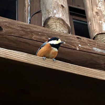 金剛山ロープウェイの小鳥
